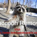raccoon-removal-edmonton